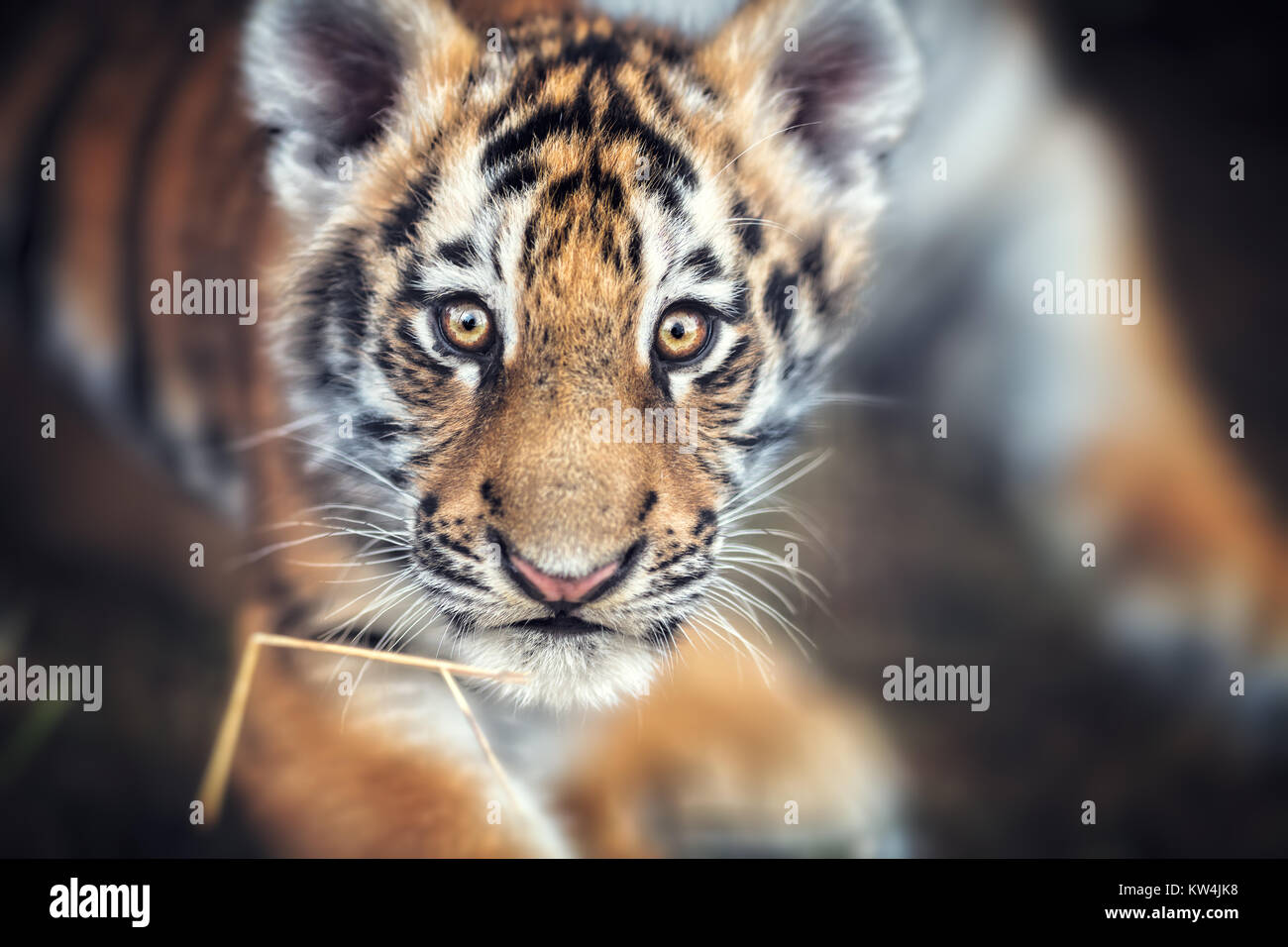 Portrait of a Beautiful Tiger cub. Tiger playing around (Panthera tigris) Stock Photo
