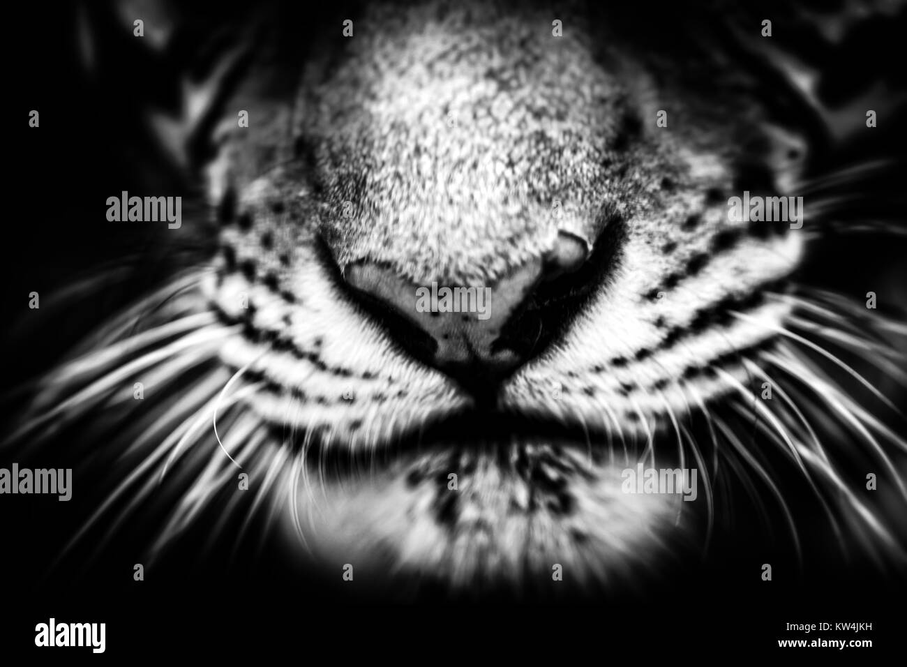 tiger nose closeup Stock Photo