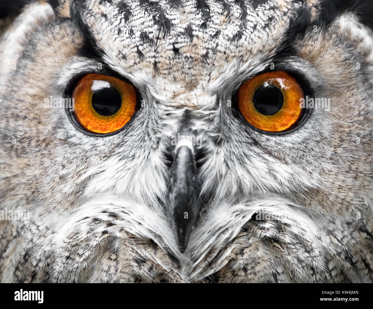 Owls Portrait. owl eyes - Stock Image