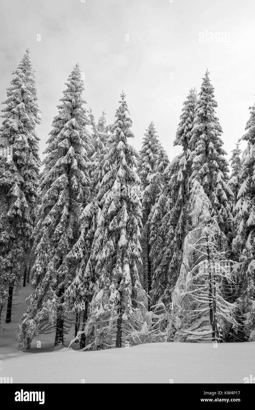 Group of snow capped trees in dark winter forest, melancholic scene - Stock Image