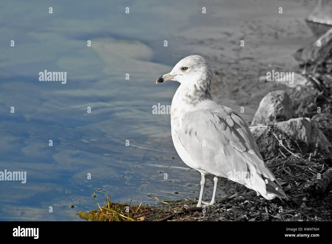 Gull standing along shore looking out over the water - two tone background - Stock Image