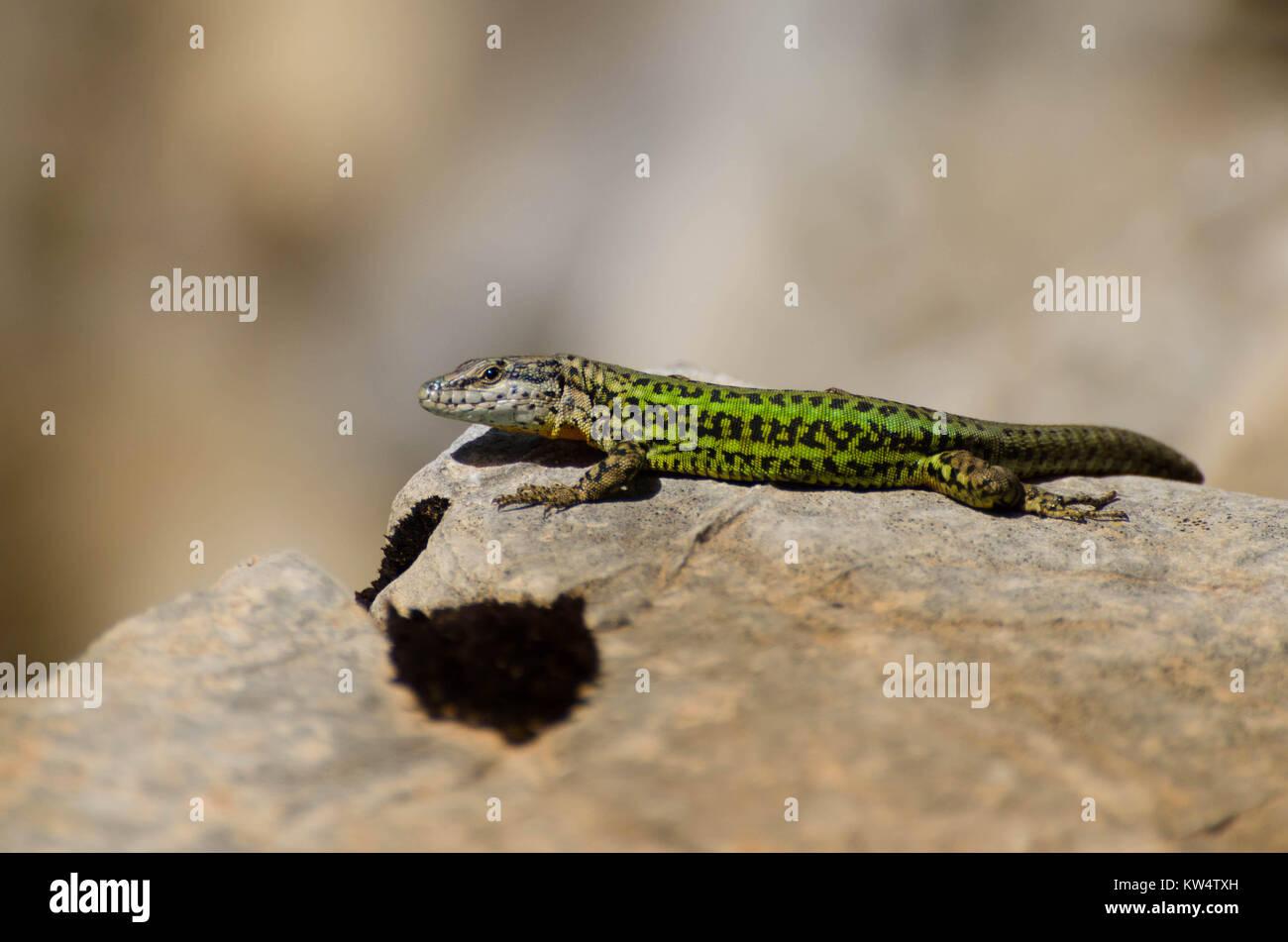 An Iberian wall lizard suns itself on a rock in Morocco - Stock Image