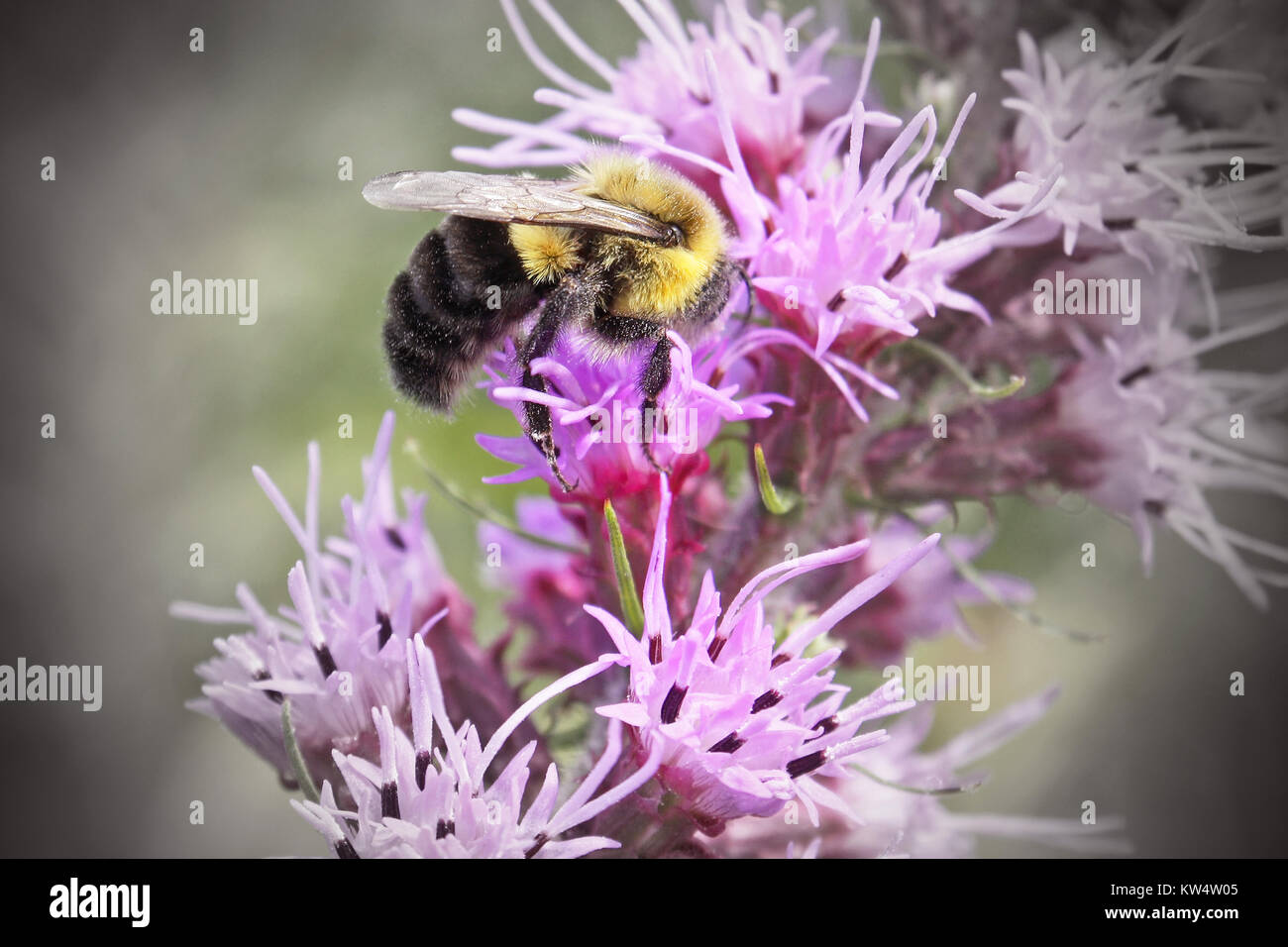 Bumble Bee taking nectar and pollen from a Wildflower Stock Photo