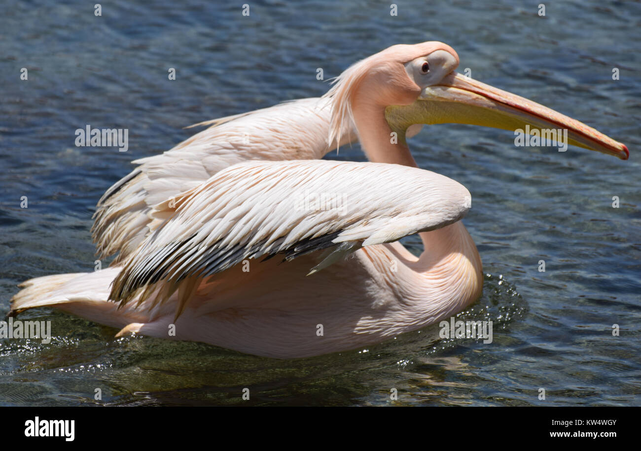 A pelican swimming in the sea in Cyprus Stock Photo