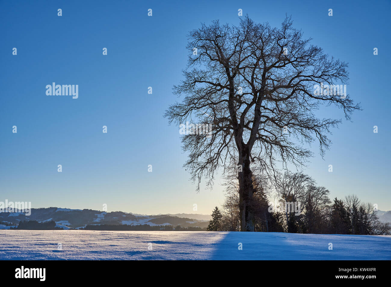 morning scenery in winter. a big tree in backlight and a deep blue