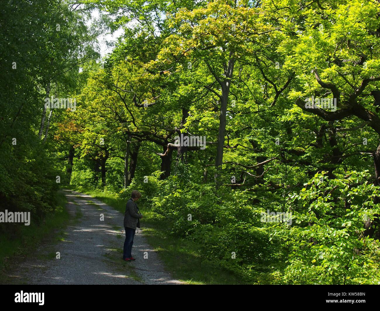 Birken Eichenwald Blankenburg 1 - Stock Image