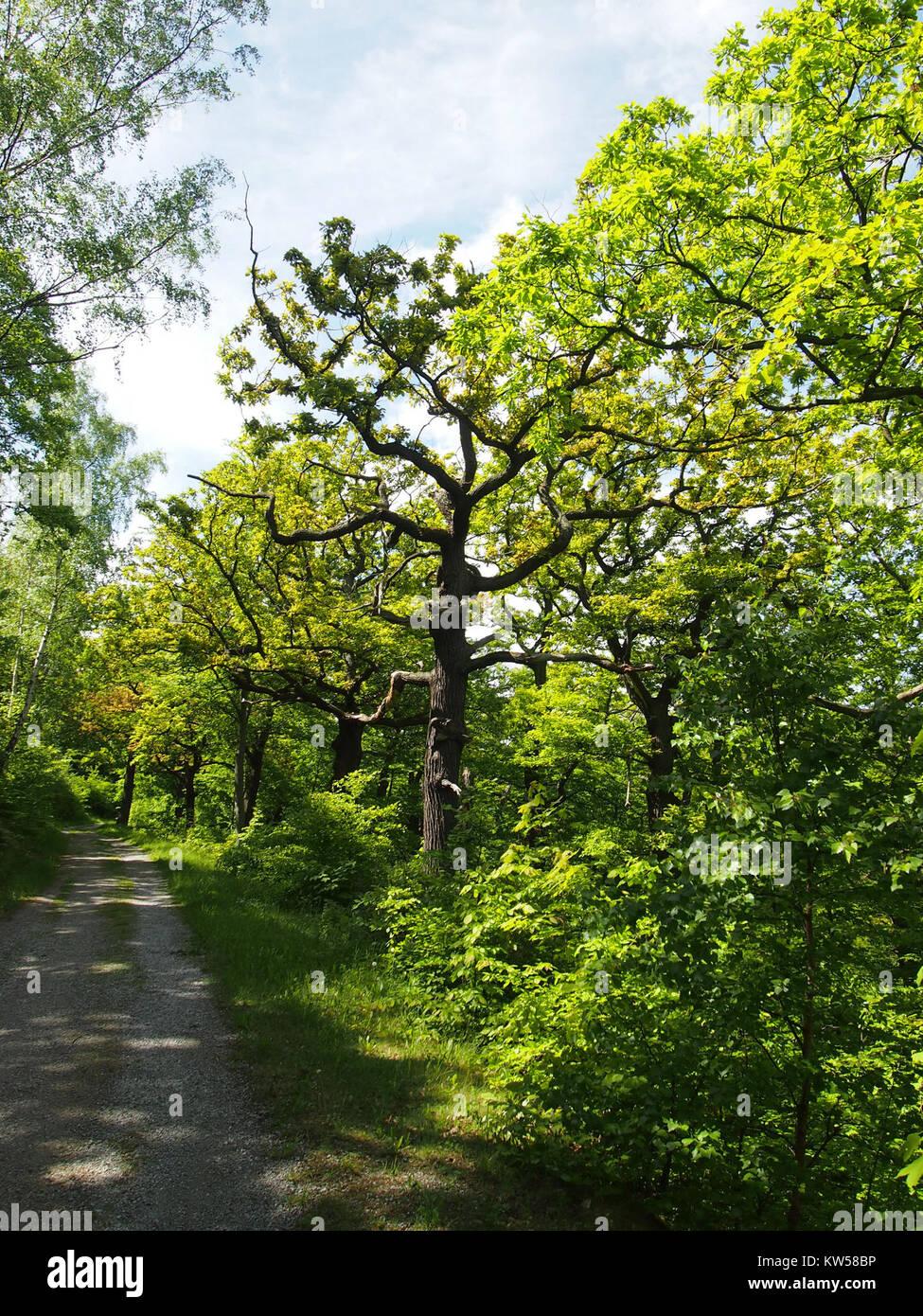 Birken Eichenwald Blankenburg 2 - Stock Image