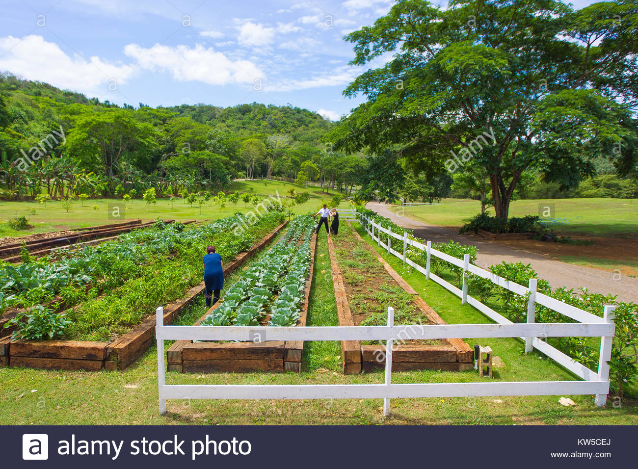 Farmers growing vegetables in elevated beds at the River Bumpkin Farm, in Jamaica. - Stock Image
