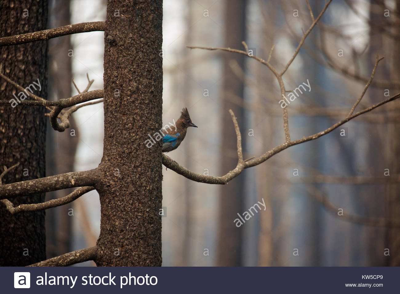 A Steller's jay is the only sign of life in the aftermath of the Fork Complex fires. - Stock Image