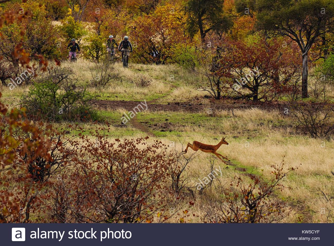 Bikers in the Mashatu Game Reserve cross paths with wildlife. - Stock Image