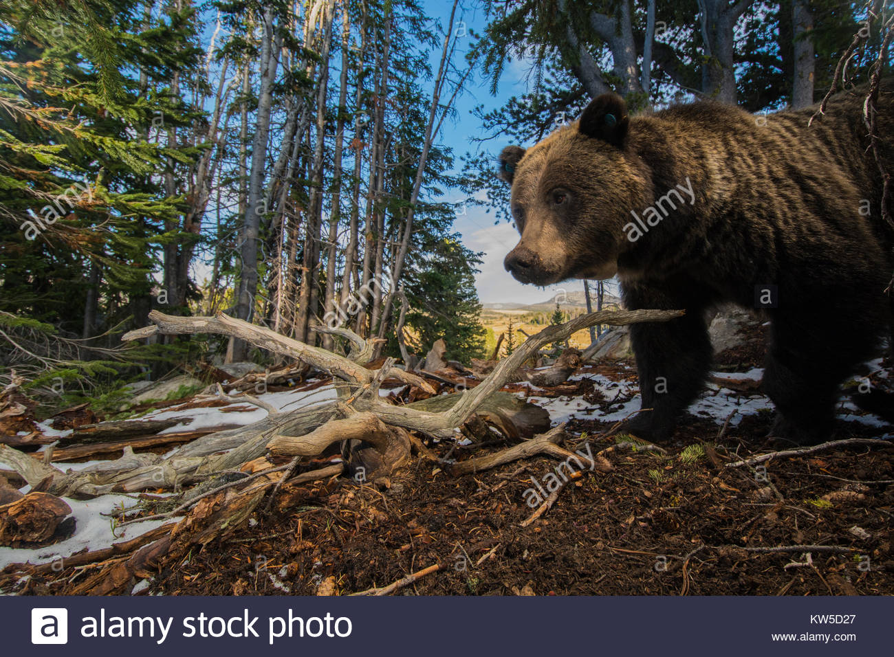 A remote camera captures a grizzly bear foraging for whitebark pinecones in Wyoming's Greater Yellowstone Ecosystem. - Stock Image
