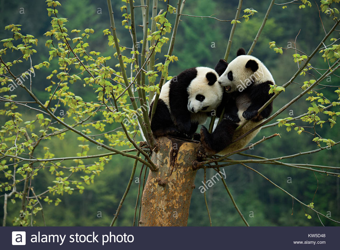 A pair of giant panda cubs play in a tree at the Gengda Giant Panda base that is part of the Wolong Natural Reserve. - Stock Image