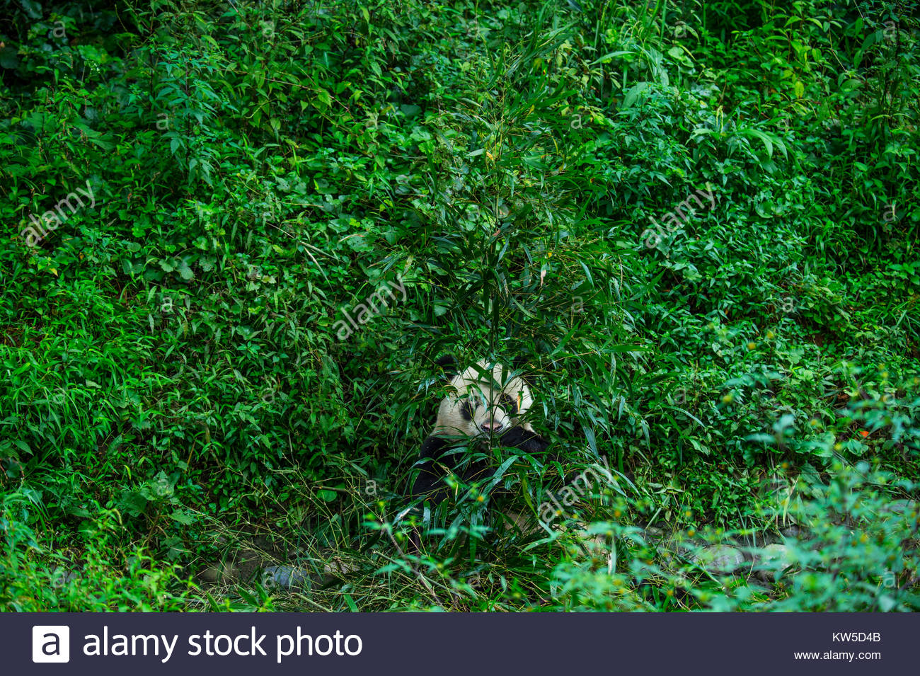 A giant panda spends much of the day surrounded by and munching on bamboo at Bifengxia Giant Panda Breeding and - Stock Image