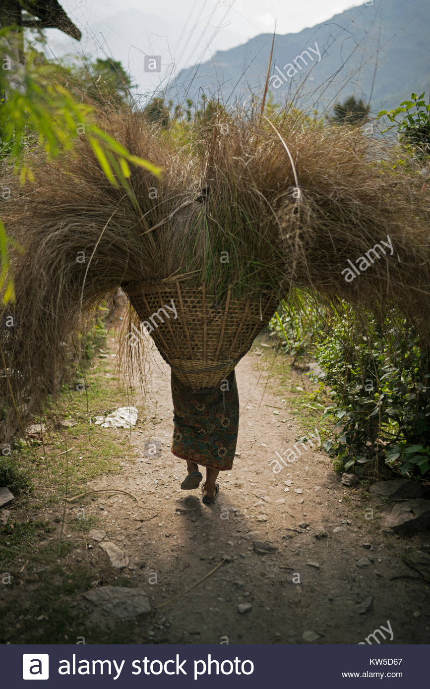 A Kulung woman carries fodder home for her livestock in the village of Bung. - Stock Image