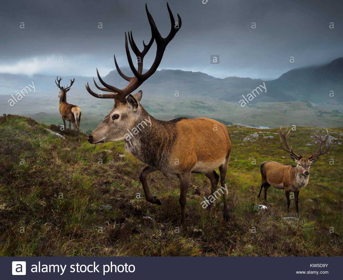 The deer population at Reraig Forest are fed by gamekeepers to spur antler growth. - Stock Image