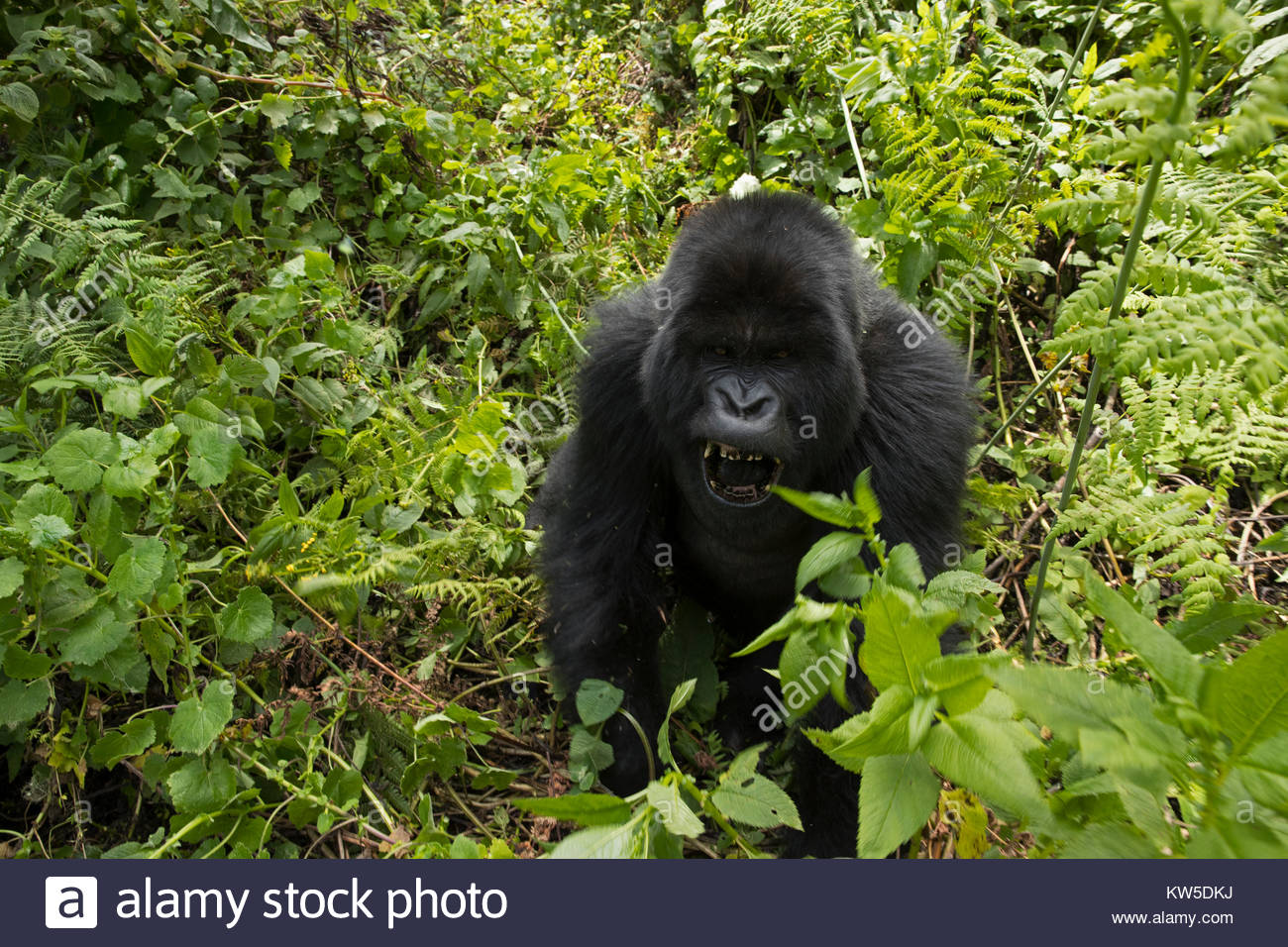 An 11-year-old black-back mountain gorilla charges playfully in Volcanoes National Park. Stock Photo