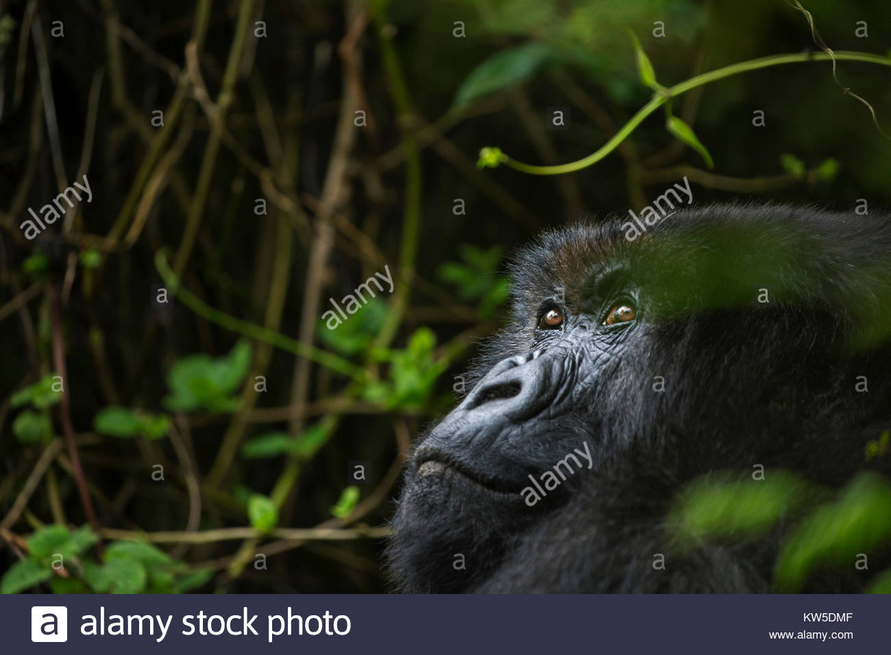 An elderly mountain gorilla in Volcanoes National Park. - Stock Image