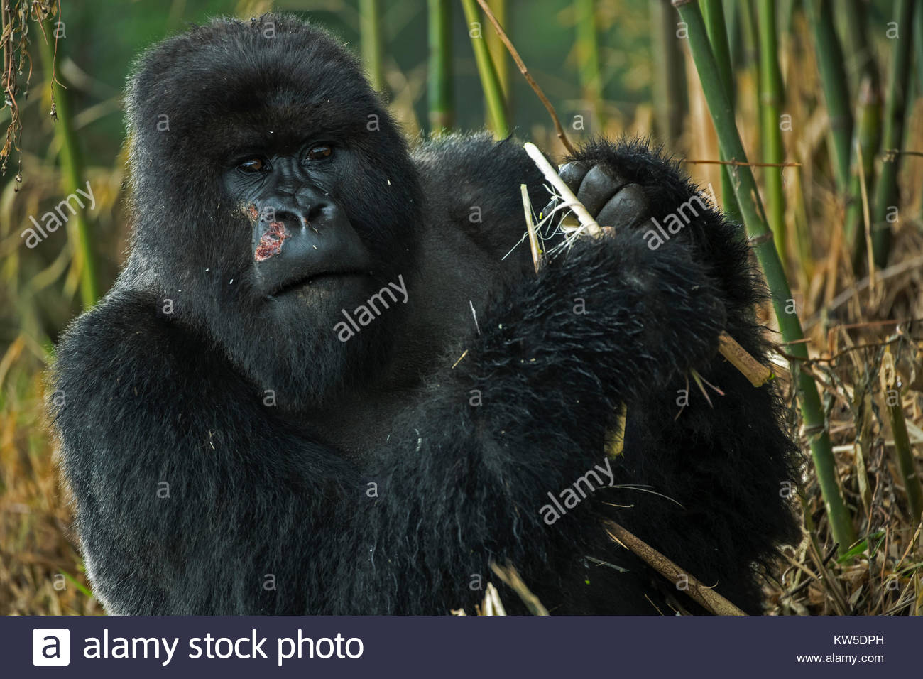Mountain gorillas leave the forest to feed on bamboo, planted as building material by villagers. - Stock Image