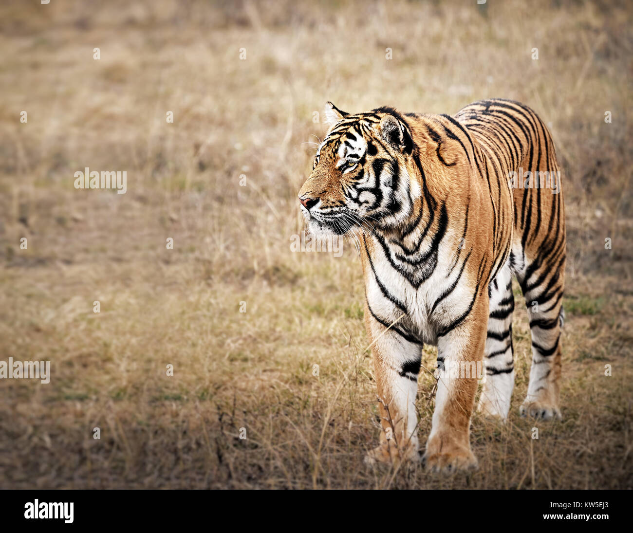 Tiger in a beautiful golden light - Stock Image