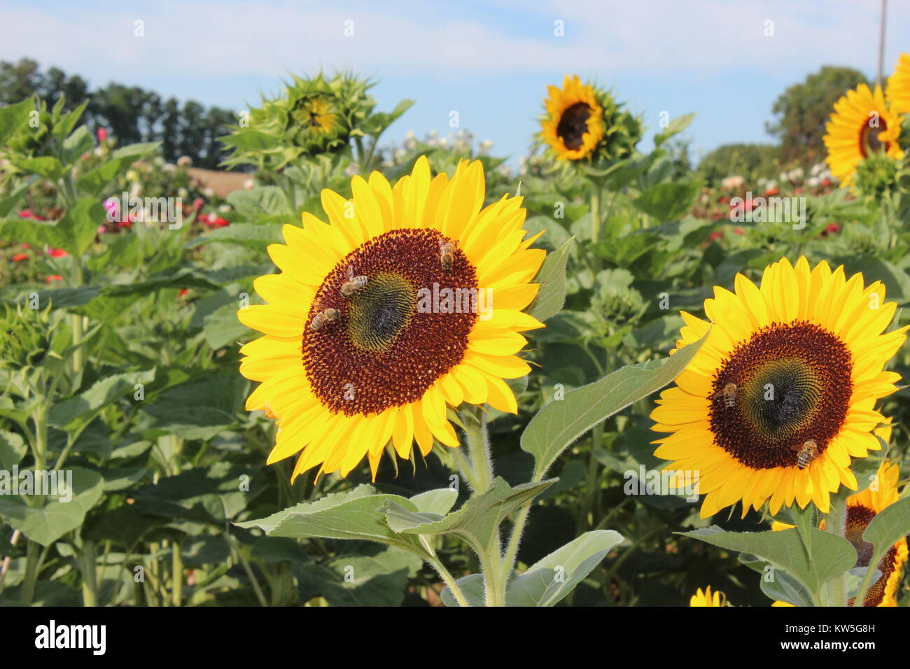 Bees on sunflowers - Stock Image