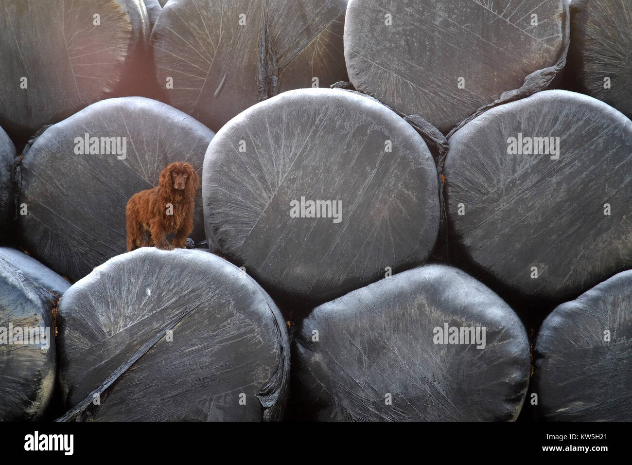 Working cocker spaniel standing on wrapped bails of hay in mid winter - Stock Image