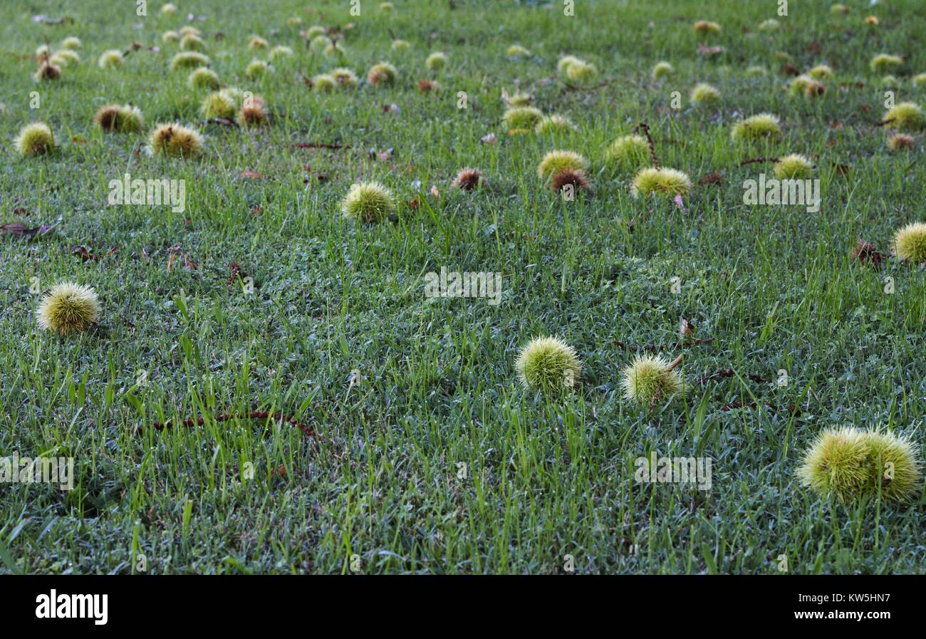Spiky green fruit from a sycamore tree laying across green grass. Stock Photo