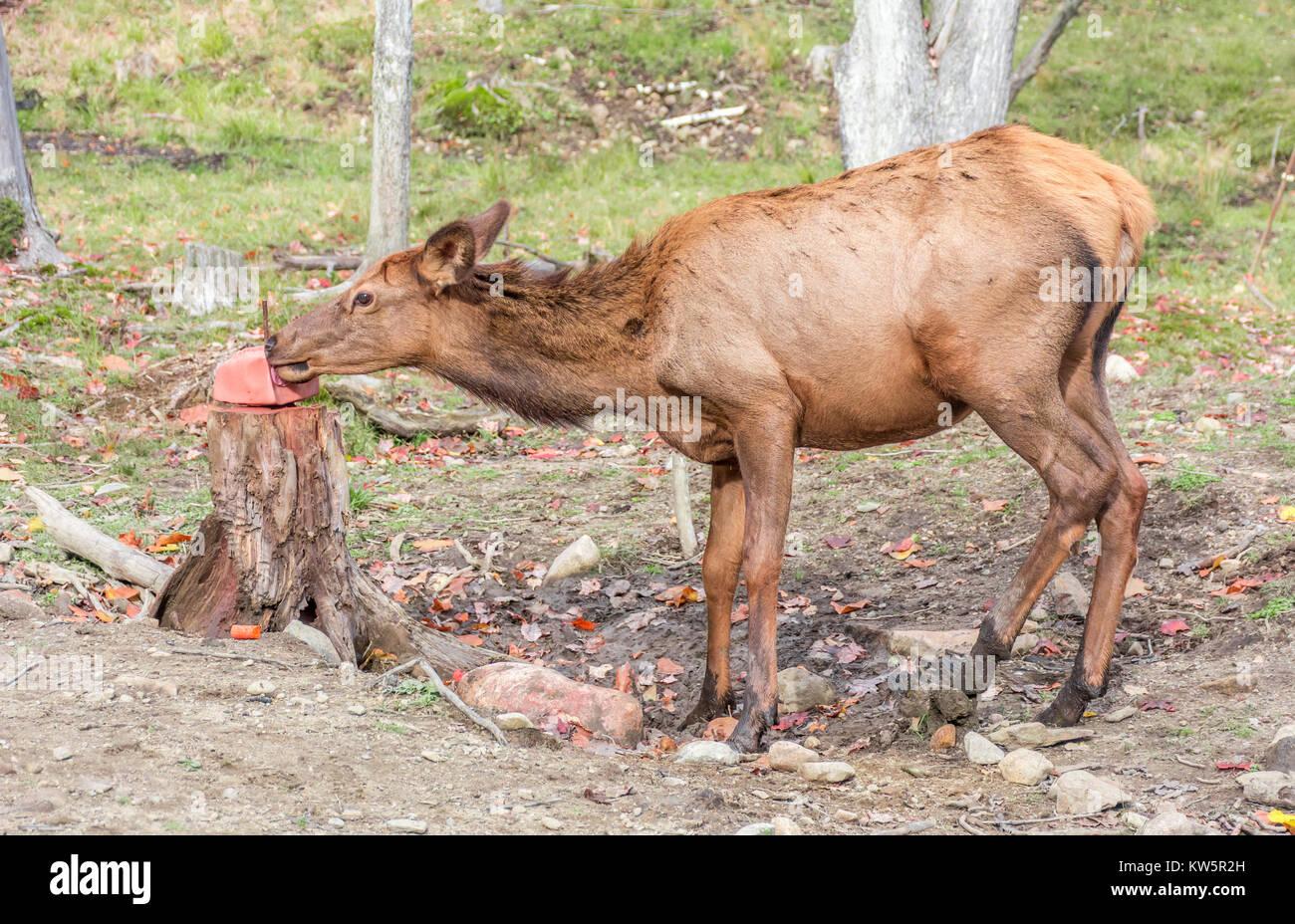 lick salt block Deer