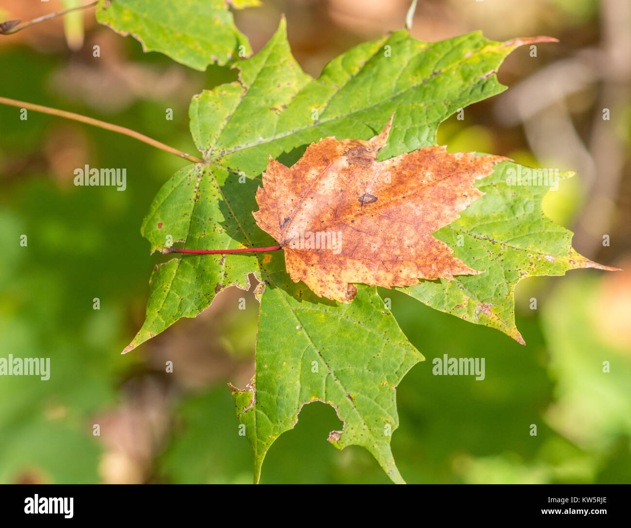 Fall Leaf Rescued by Big Brother - Stock Image
