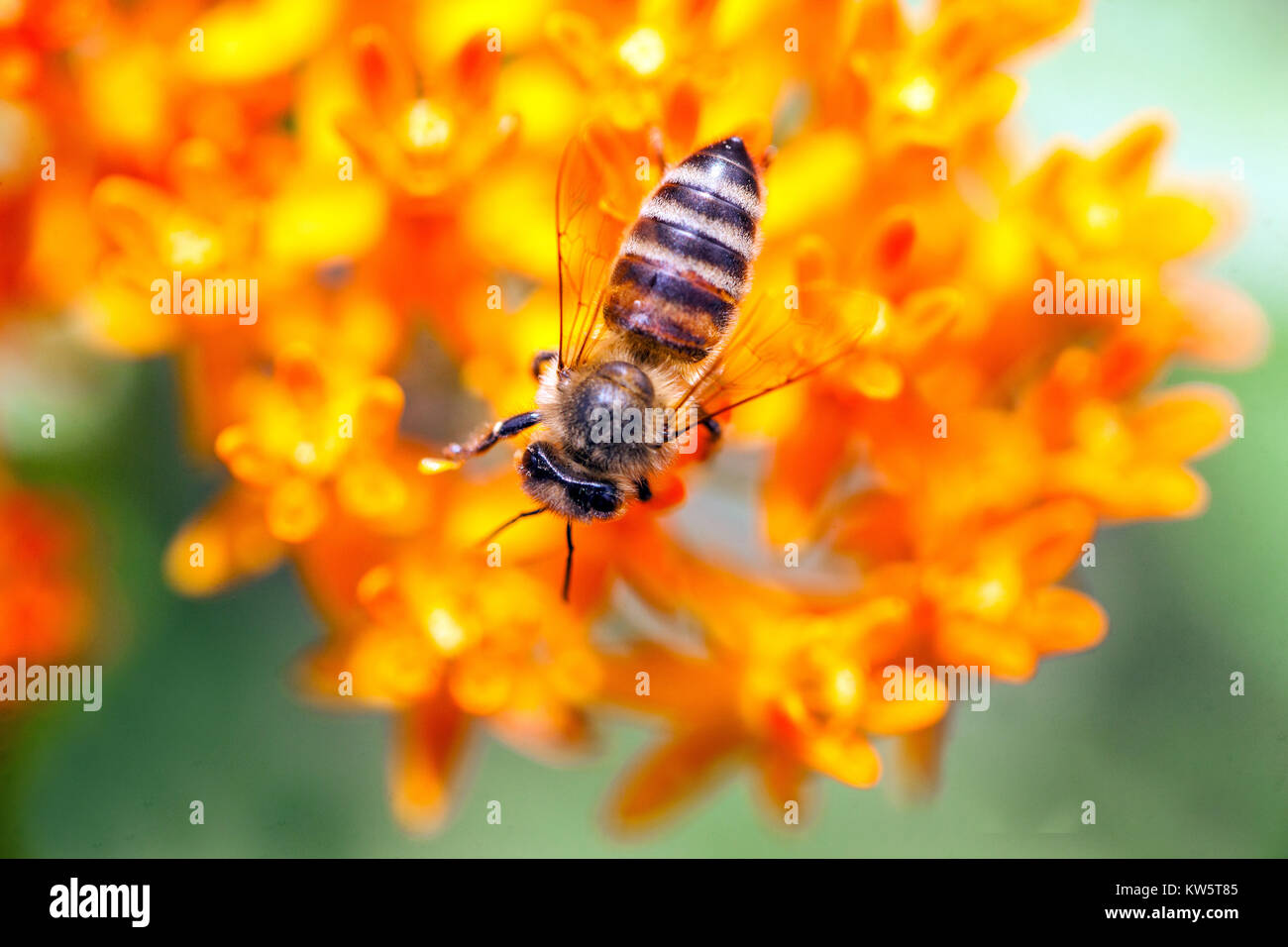 Close up Bee on flower Butterfly weed plant - Asclepias tuberosa, Milkweed - Stock Image