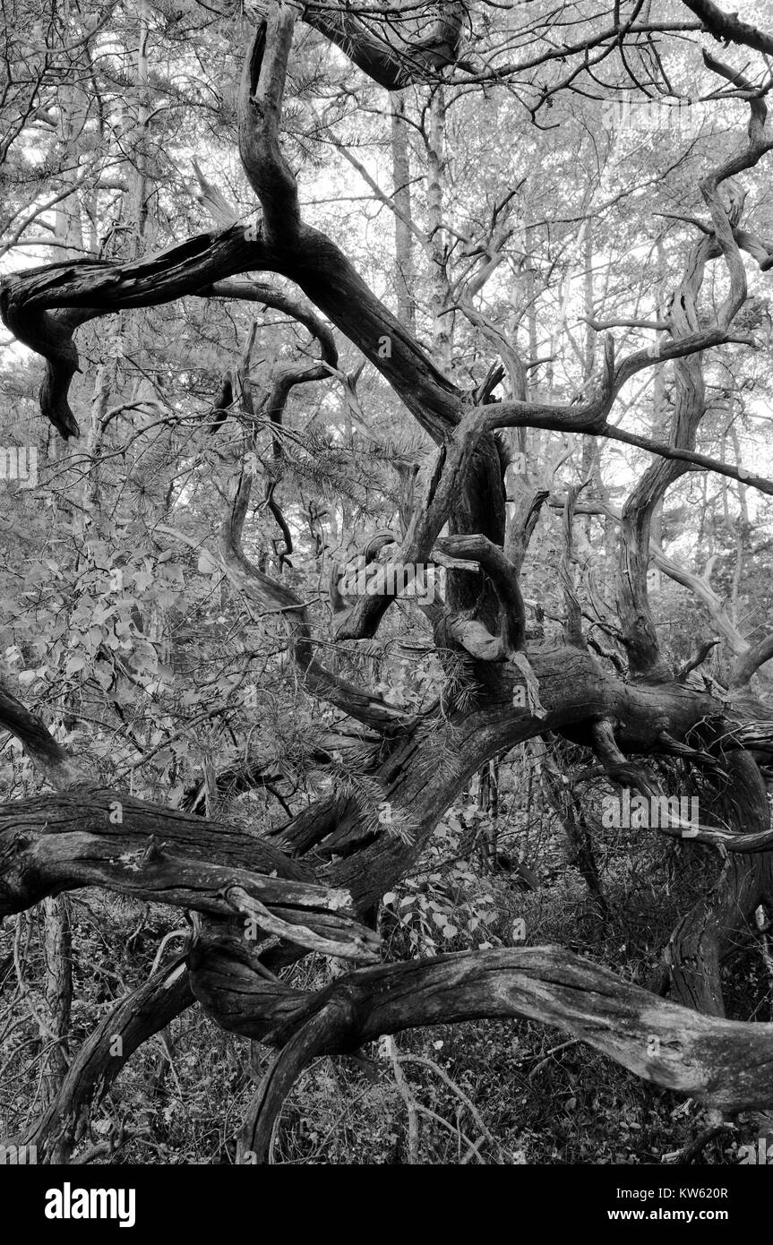 Dead wood, Totholz - Stock Image