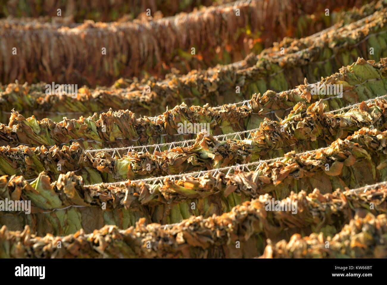 Tobacco leaves drying in the shed. shallow dof, image of a - Stock Image