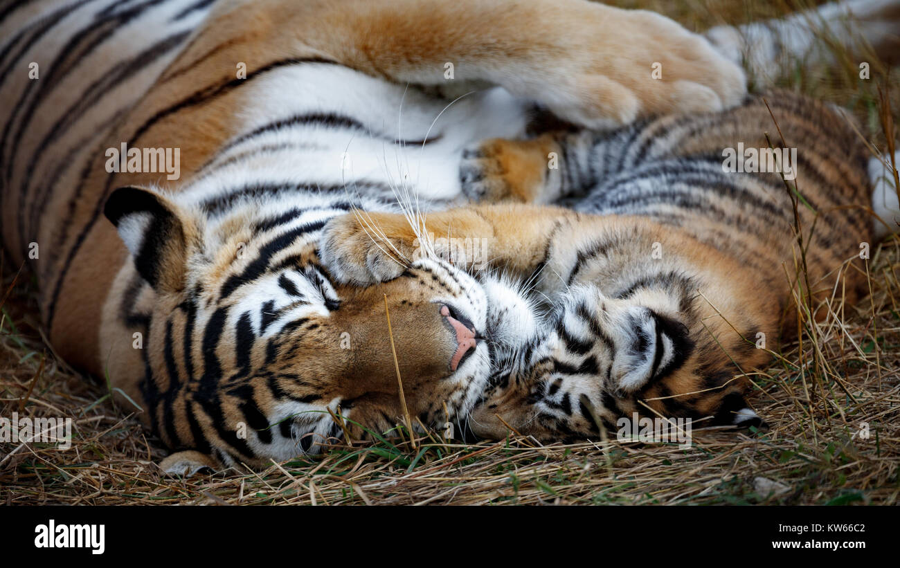 tigress with cub. tiger mother and her cub - Stock Image
