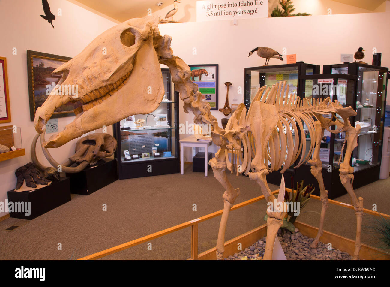 Fossil Hagerman horse (Equus simplicidens) in visitor center, Hagerman Fossil Beds National Monument, Idaho - Stock Image