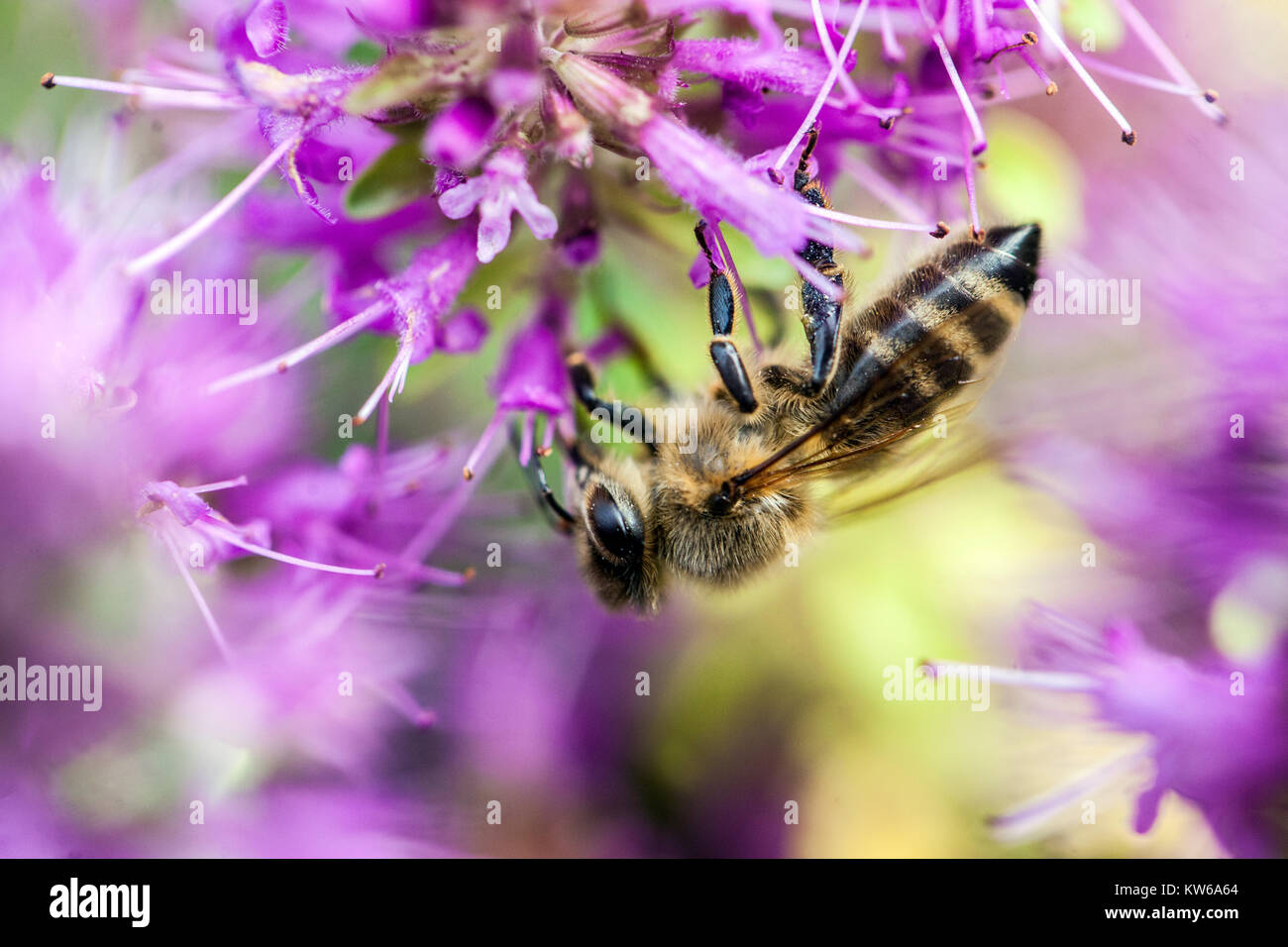 Close up bee on flower Thyme - Stock Image