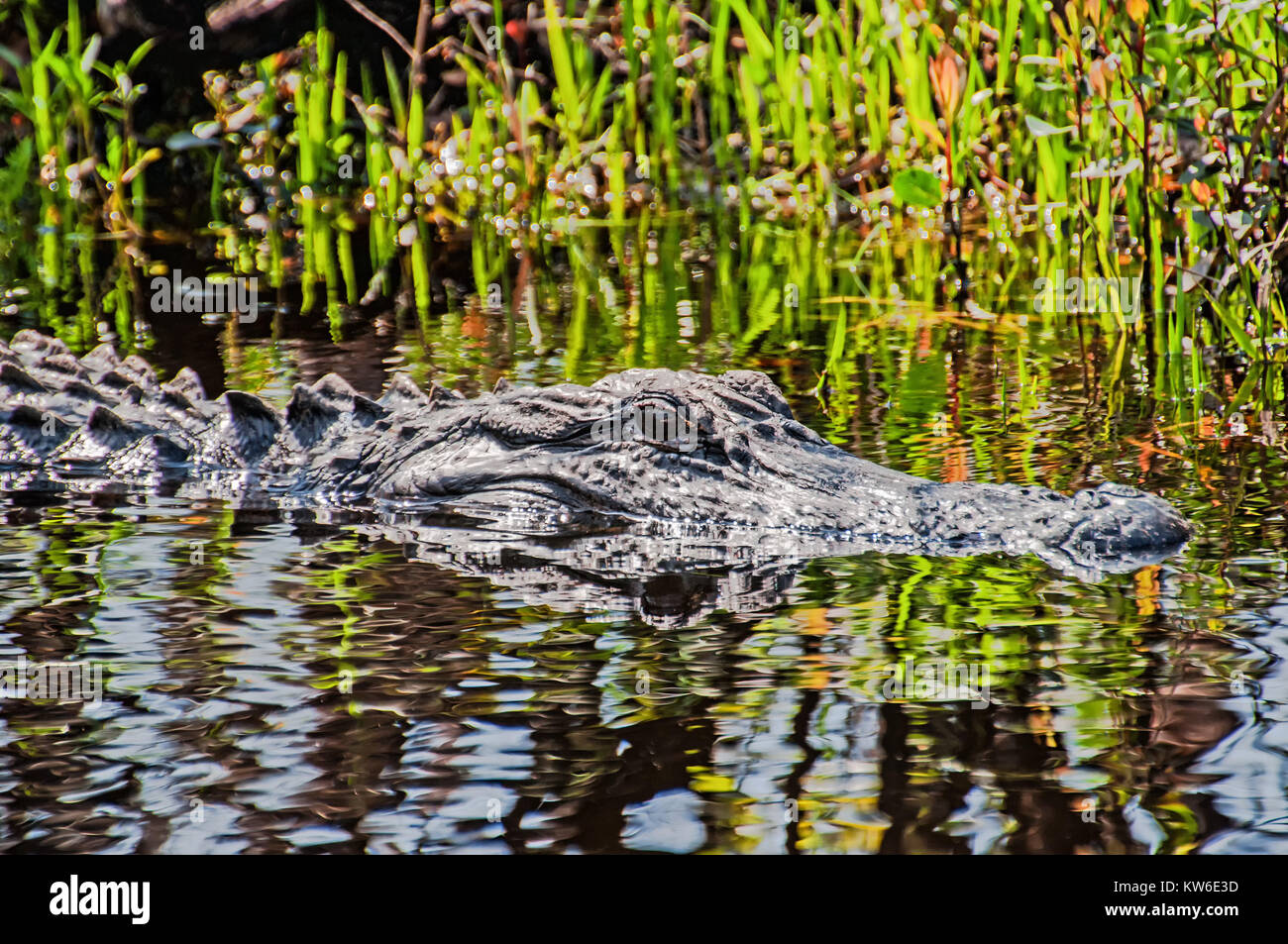 close-up of an alligator - Stock Image