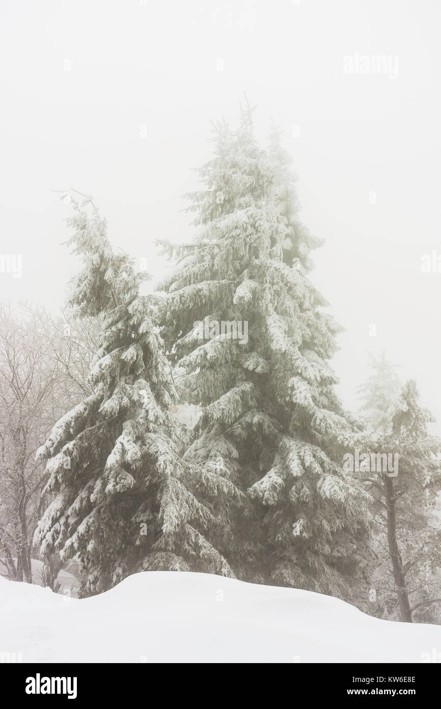 Snowy and icy firs on a foggy day of winter, Vosges, France. - Stock Image