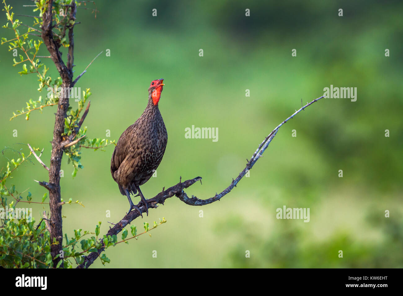Swainson's spurfowl in Kruger National park, South Africa ;Specie Pternistis swainsonii family of Phasianidae - Stock Image