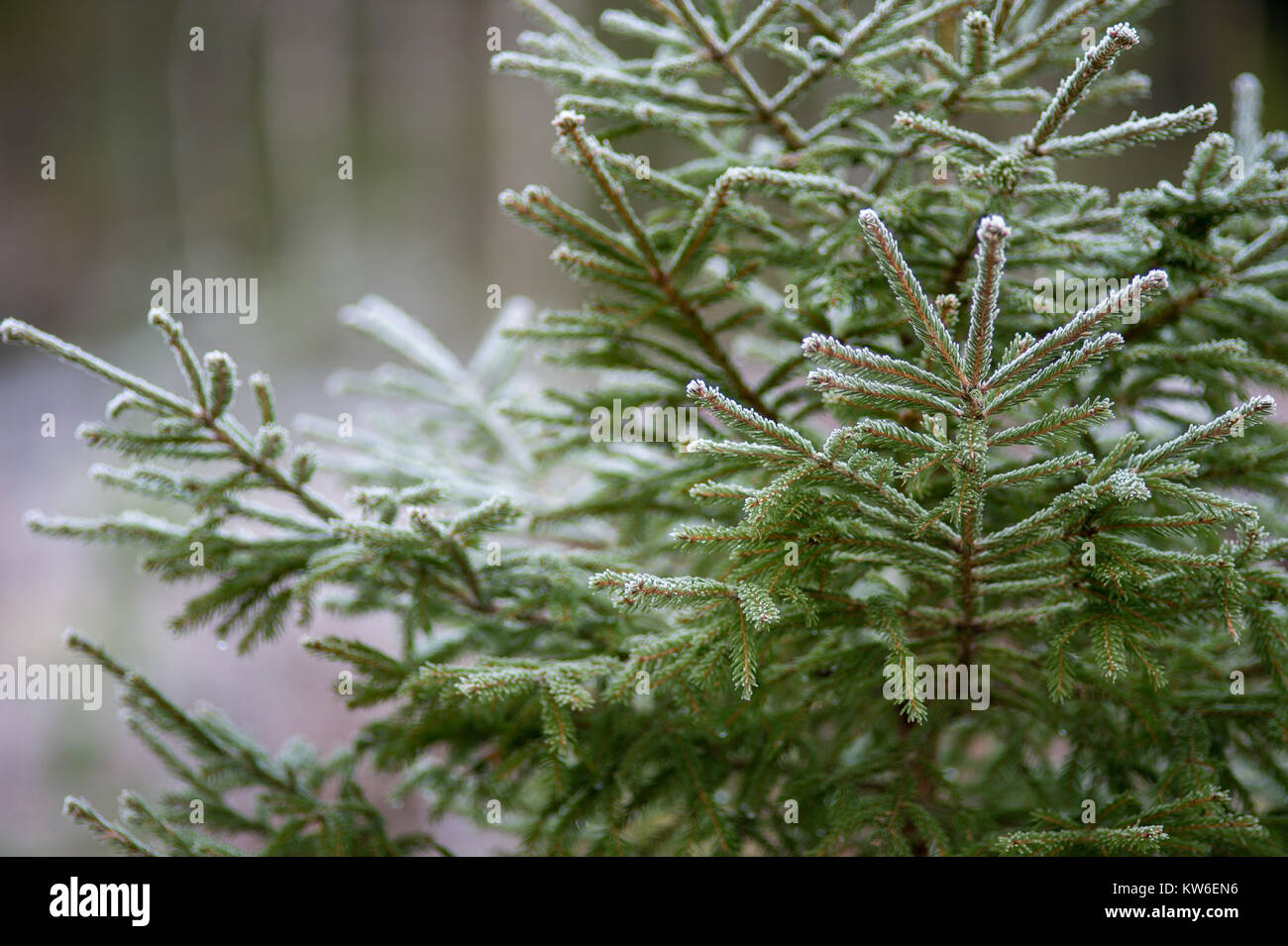 Spruce in a wintry Sweden. Stock Photo