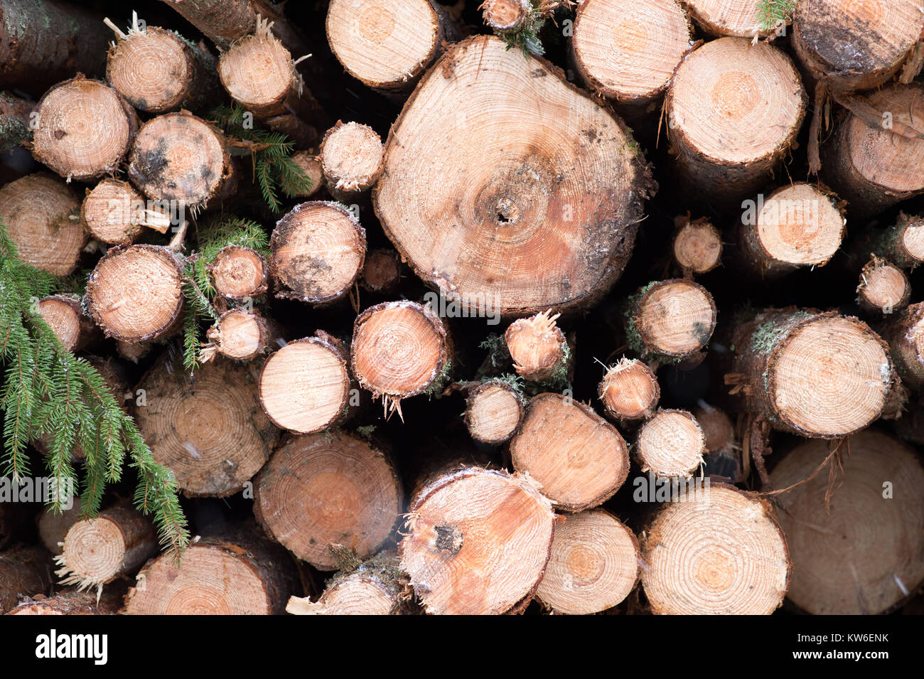 Harvested timber in a snowy Swedish forest. Stock Photo