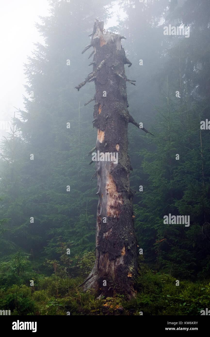 Dry broken off trunk of the old tree is shrouded in mist (Ukraine, Carpathians, Dragobrat) Stock Photo