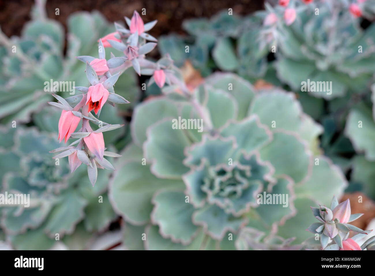 Pink succulents stock photos pink succulents stock images alamy echeveria curly locks drought resistant grey leaved plant in flower with pink flowers growing in a mightylinksfo