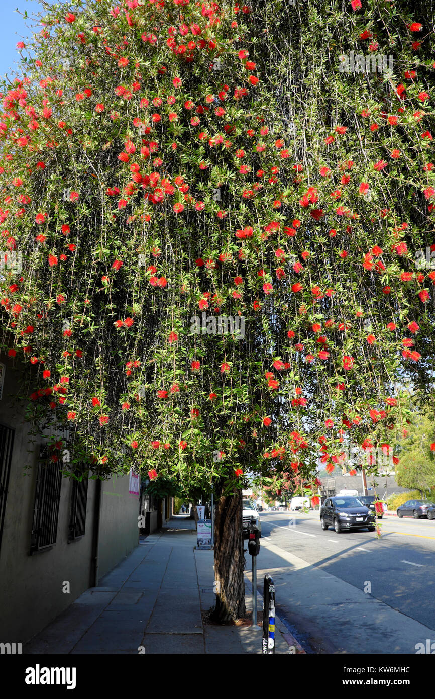Red flowers blossoming on Eucalyptus Gum Tree growing on street in fall in the Silver Lake neighborhood of Los Angeles, - Stock Image