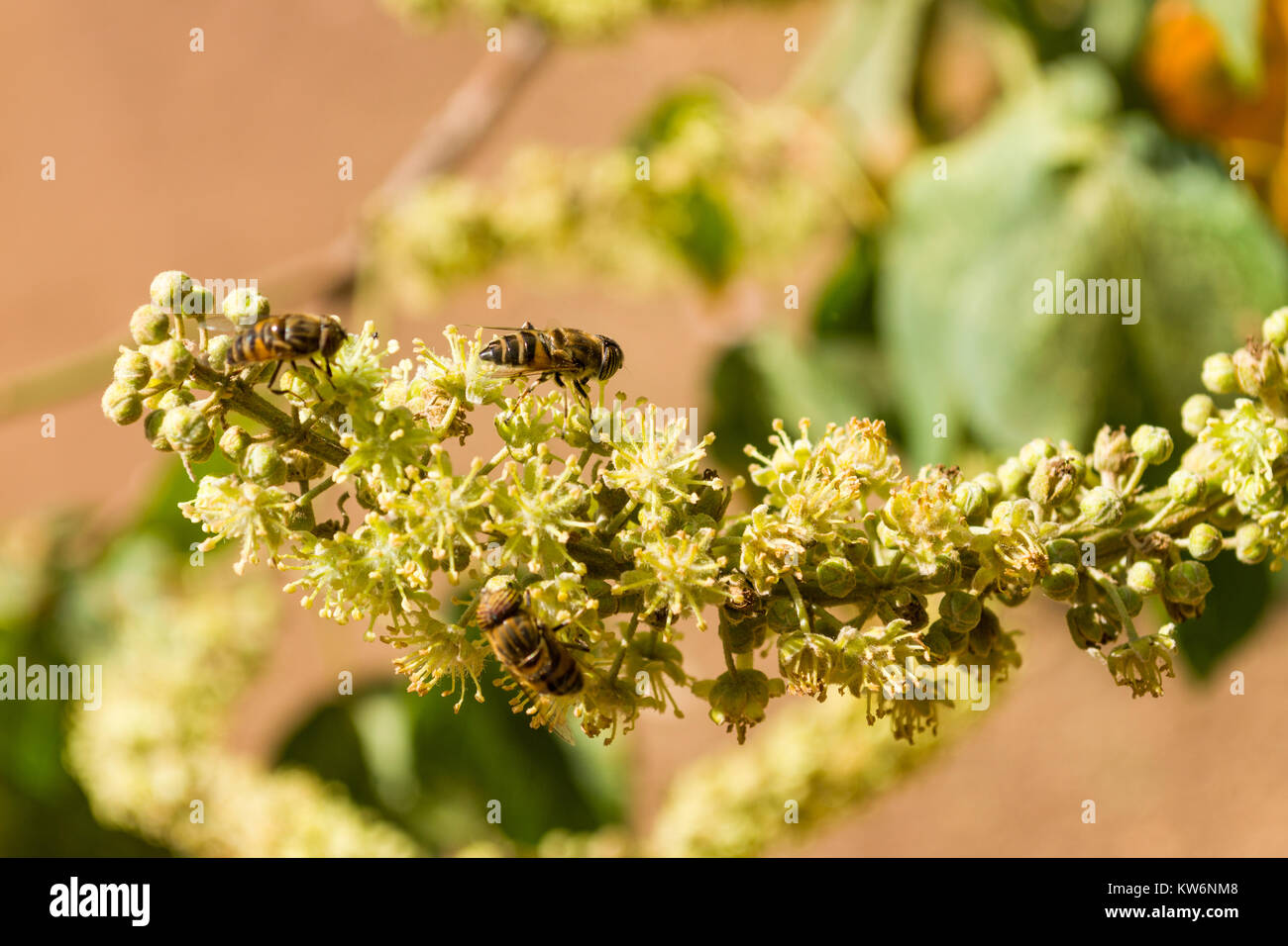 Honey bee mimic or Band-eyed drone fly (Eristalinus Taeniops) feeding on nectar from a flower, Nairobi, Kenya, East - Stock Image
