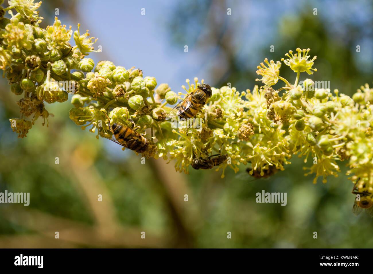 Honey bee mimic or Band-eyed drone fly (Eristalinus Taeniops) feeding on nectar from a flower, Nairobi, Kenya, East - Stock Image