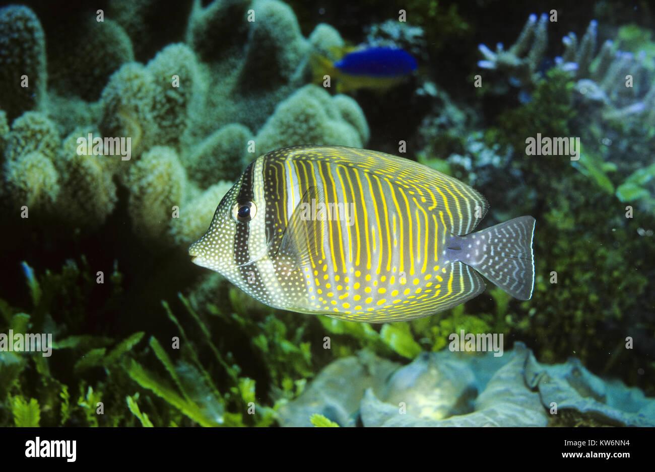 Indischer Segelflossendoktor, Indischer Segelflosser, Segelflossen-Doktorfisch, Westlicher Fledermaus-Segeldoktorfisch, - Stock Image