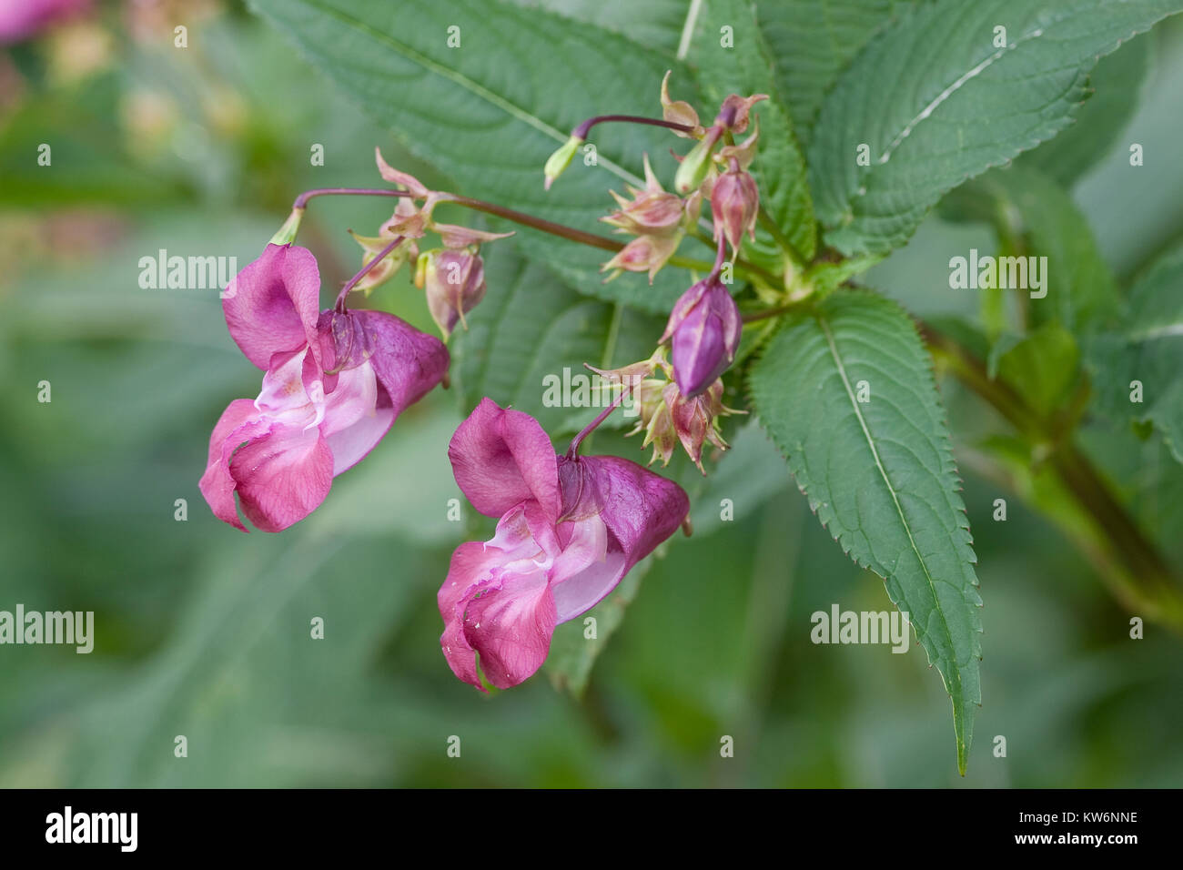 Indisches Springkraut, Drüsiges Springkraut, Impatiens glandulifera, Himalayan Balsam, Policeman`s Helmet Stock Photo
