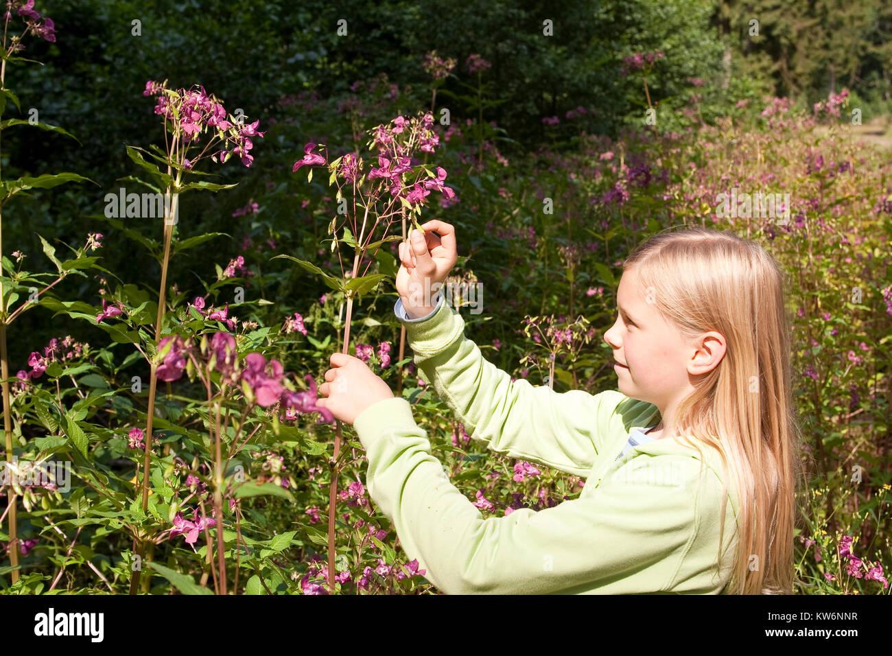Indisches Springkraut, Drüsiges Springkraut, Mädchen lässt die Springfrüchte, Springfrucht platzen, Impatiens glandulifera, Stock Photo
