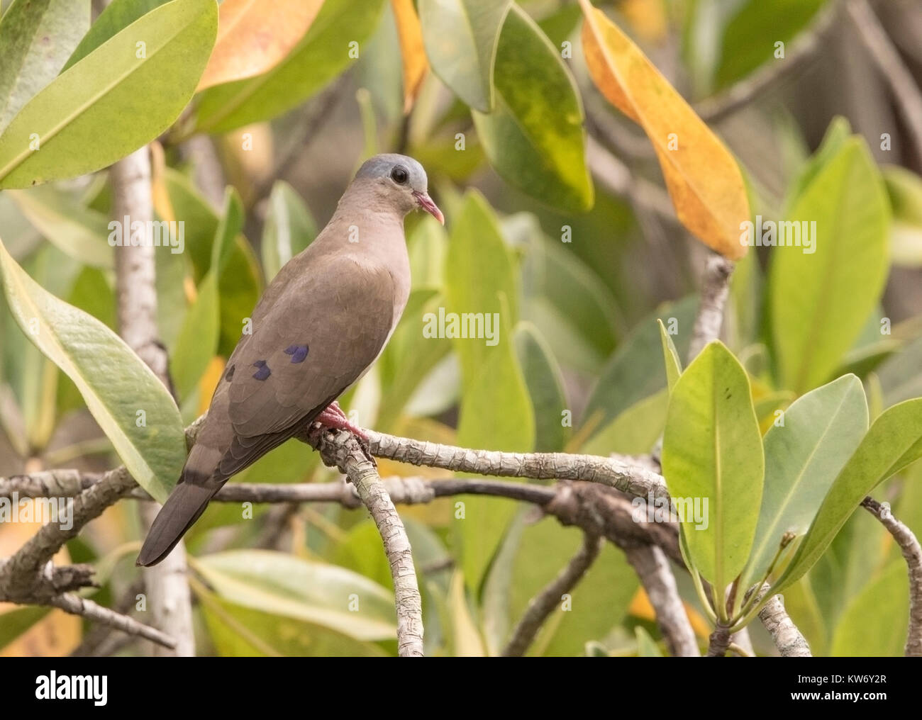blue-spotted wood-dove Turtur afer adult perched on tree branch in forest, Gambia Stock Photo