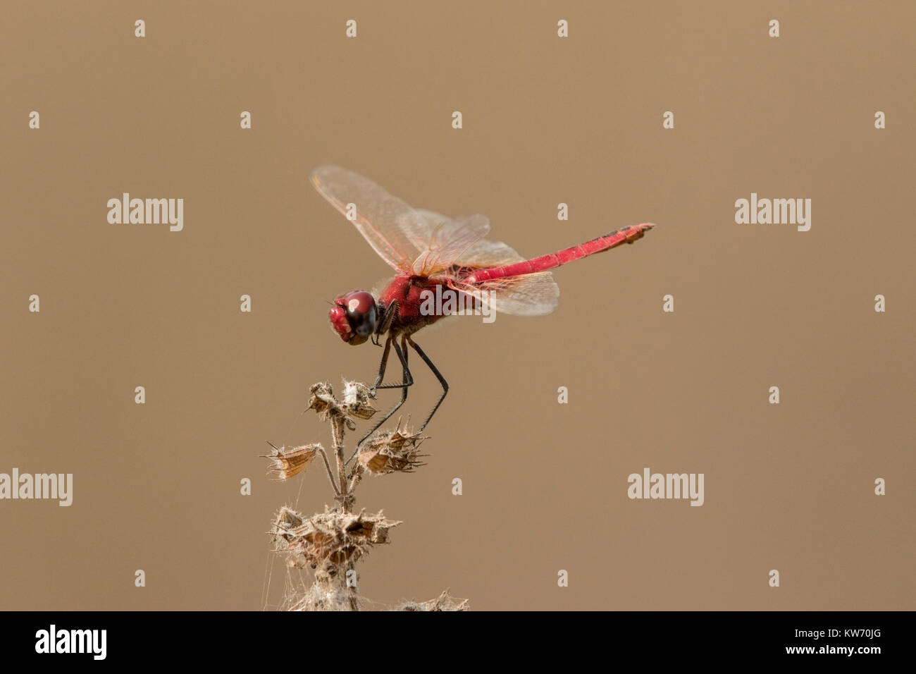 scarlet darter dragonfly or broad scarlet Crocothemis erythraea resting on vegetation, Gambia Stock Photo
