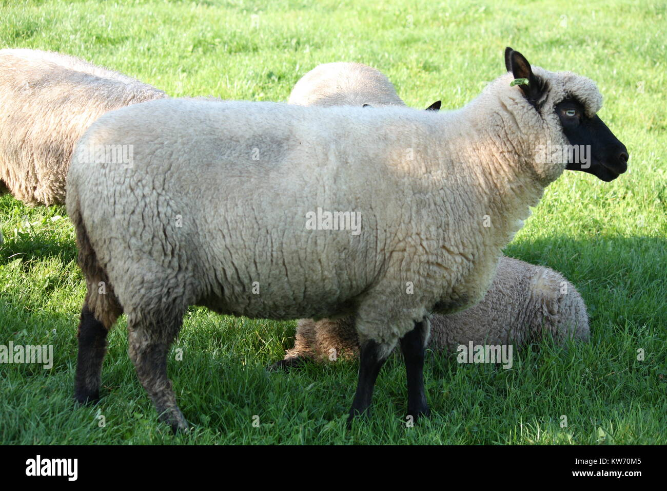 Dutch white sheep with a black face in the grass Stock Photo ... for Sheep Face Black And White  585hul